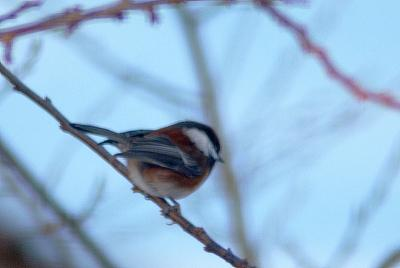 chestnut-backed-chickadee-12021010.jpg